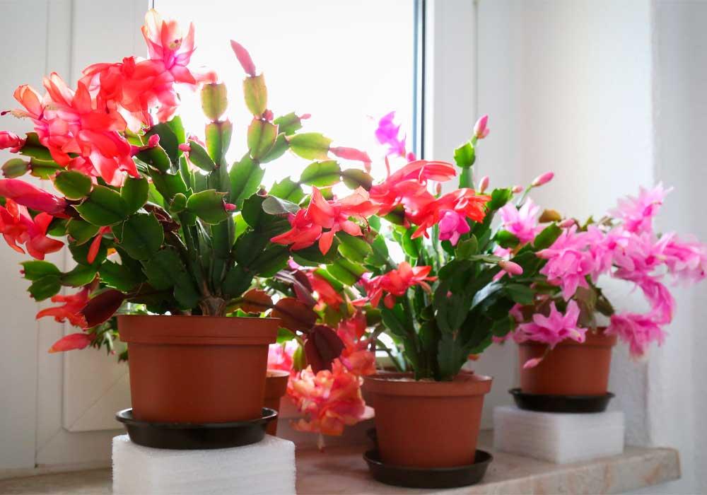 Como cuidar mi cactus de navidad