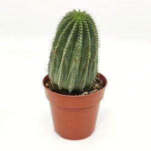 Euphorbia cv. Willian Denton