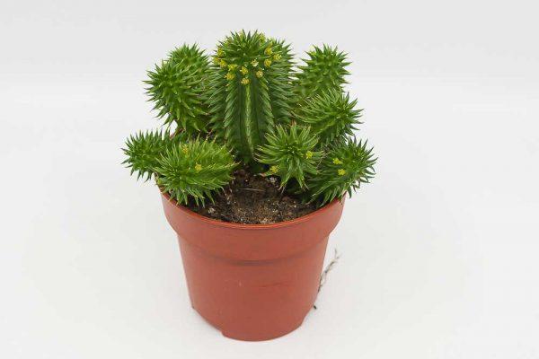 Euphorbia suzannae suculenta entrecactus