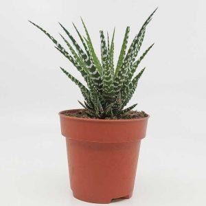 Haworthiopsis attenuata