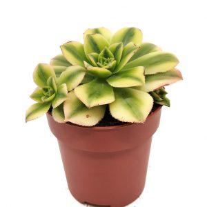 Comprar Aeonium decorum cv. Tricolor entrecactus