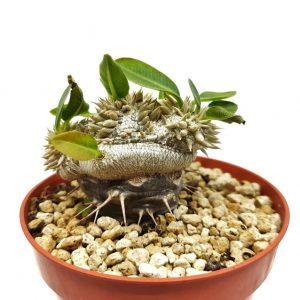 Comprar Pachypodium breviculae