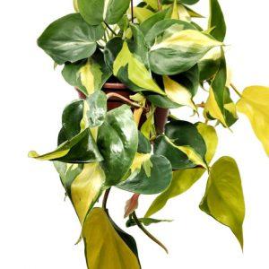 Comprar online Philodendron Scandens Brasil
