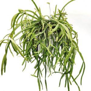Comprar Rhipsalis roseana online