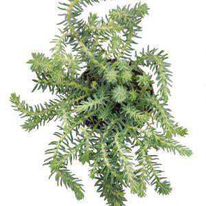 Comprar Sedum reflexum 'Blue Spruce' online