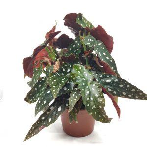 Comprar Begonia maculata online
