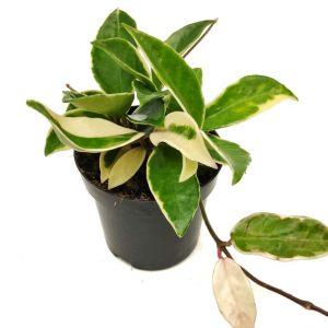 Comprar Hoya carnosa Albomarginata online