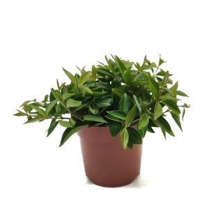 Comprar Peperomia angulata online