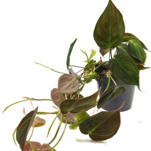 Comprar Philodendron scandens micans online