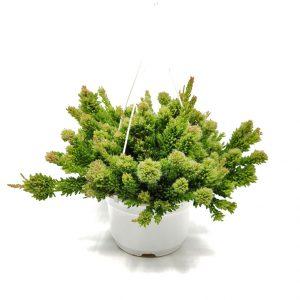 Comprar Rhipsalis mesembryanthemoides online