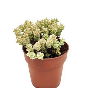 Comprar Crassula Pastel variegata online