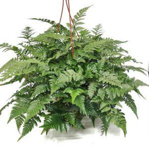 Comprar Davallia canariensis online