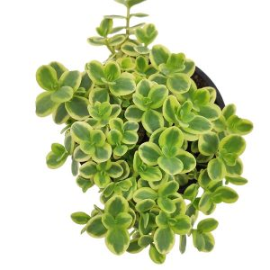 Comprar Sedum Sunsparkler Lime Twister online