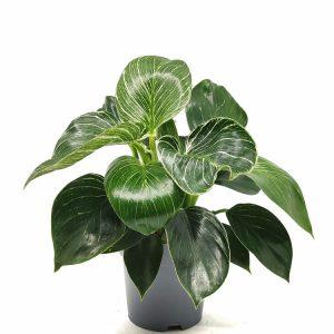 Comprar Philodendron Birkin White Wawe online