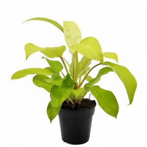 Comprar Philodendron Malay Gold online