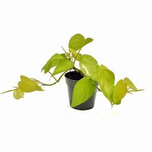 Comprar Philodendron scandens micans Lime online
