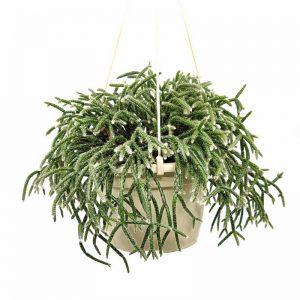 Comprar Rhipsalis fasciculata